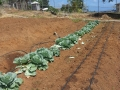 Organic farming project implemented by ACT NOW at the prisons.jpg